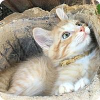 Adopt A Pet :: StarburstL - North Highlands, CA