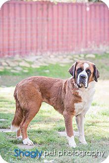 St. Bernard Dog for adoption in McKinney, Texas - Minnie
