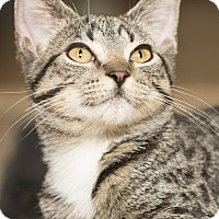 Adopt A Pet :: Moggy - Lombard, IL