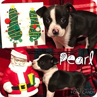 Pit Bull Terrier/Border Collie Mix Puppy for adoption in Garden City, Michigan - Pearl