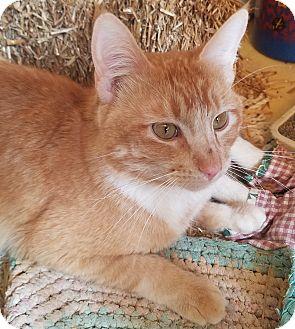 Domestic Shorthair Cat for adoption in Buhl, Idaho - Banana