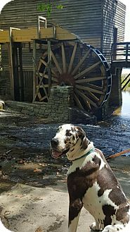 Great Dane Dog for adoption in Gallatin, Tennessee - Harvey