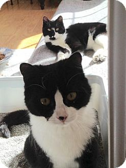Domestic Shorthair Kitten for adoption in Marlton, New Jersey - Oreo