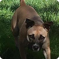 Adopt A Pet :: Bailey - Battle Ground, WA