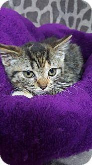 Calico Kitten for adoption in yuba city, California - Ophelia