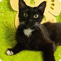 Adopt A Pet :: Bootsie - Muskegon, MI