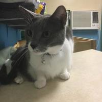 American Shorthair/Domestic Shorthair Mix Cat for adoption in Brooksville, Florida - GRACIE GIRL