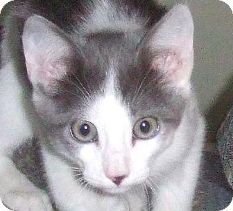 Domestic Shorthair Cat for adoption in Alturas, California - Squeakers