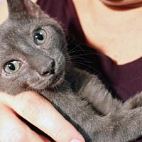 Russian Blue Kitten for adoption in Brooklyn, New York - Melissa Gorgeous, Affectionate Russian Blue Mix Ki