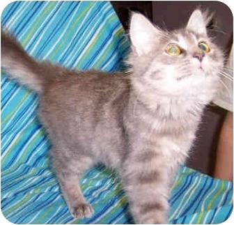 Domestic Longhair Kitten for adoption in Murphysboro, Illinois - Henley
