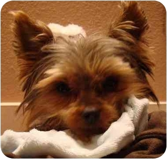 Yorkie, Yorkshire Terrier Dog for adoption in Tallahassee, Florida - Sammie