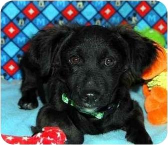 Pomeranian/Dachshund Mix Puppy for adoption in Broomfield, Colorado - Tramp