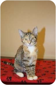 Domestic Shorthair Cat for adoption in Medina, Ohio - Dancer