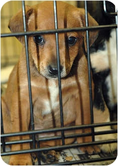 Labrador Retriever Mix Puppy for adoption in Ripley, Tennessee - Q-8