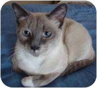 Siamese Cat for adoption in Franklin, North Carolina - Thai
