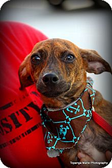 Chihuahua Mix Puppy for adoption in Boynton Beach, Florida - Labron