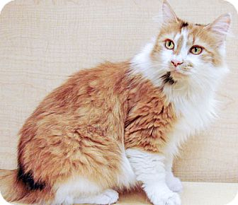 Domestic Longhair Cat for adoption in Howell, Michigan - Annabelle