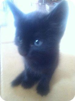 Domestic Shorthair Kitten for adoption in Phoenix, Arizona - RAVEN