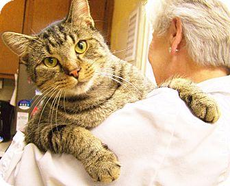Oriental Cat for adoption in Toledo, Ohio - Cheetos