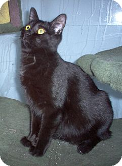 Domestic Shorthair Cat for adoption in Toronto, Ontario - Shadow