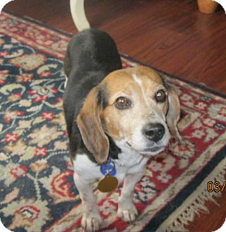 Beagle Dog for adoption in Waldorf, Maryland - Cambrie
