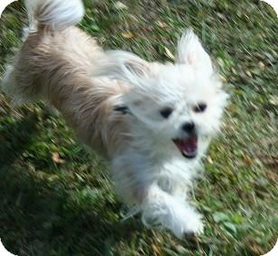Yorkie, Yorkshire Terrier/Shih Tzu Mix Dog for adoption in Hamilton, Ontario - Molly