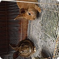 Adopt A Pet :: Bunnies - Lower Burrell, PA