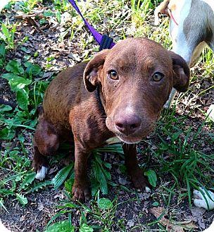 Labrador Retriever Mix Dog for adoption in Allentown, Pennsylvania - River (mcminn)