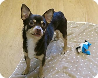 Chihuahua Dog for adoption in High Point, North Carolina - Pluto