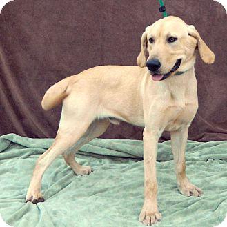 Labrador Retriever Mix Dog for adoption in McCormick, South Carolina - Alex