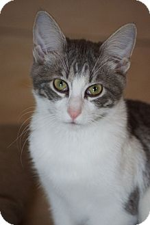 Domestic Shorthair Cat for adoption in St. Louis, Missouri - Bingley