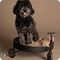 Adopt A Pet :: Peony - non shed poodle! - Phoenix, AZ