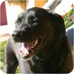 Labrador Retriever Mix Dog for adoption in Berkeley, California - Arthur