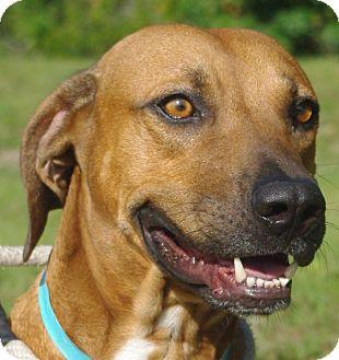Black Mouth Cur Mix Dog for adoption in Daytona Beach, Florida - BigFoot