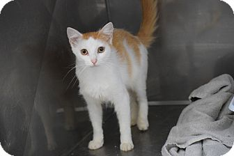Domestic Mediumhair Cat for adoption in Hartford, Kentucky - Francis