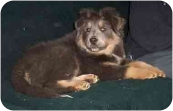 Old English Sheepdog/Collie Mix Puppy for adoption in McArthur, Ohio - Maddox