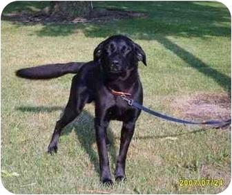 Labrador Retriever Dog for adoption in Austin, Minnesota - Riggs