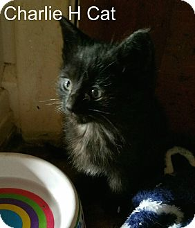 Domestic Shorthair Kitten for adoption in detroit, Michigan - CHARLIE H..