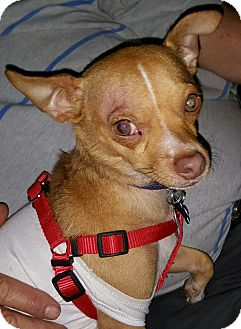 Chihuahua Dog for adoption in Andalusia, Pennsylvania - Rocky