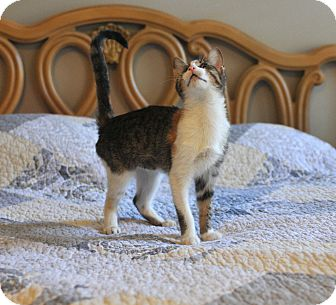 Domestic Shorthair Kitten for adoption in Bend, Oregon - Mely 1 Eyed
