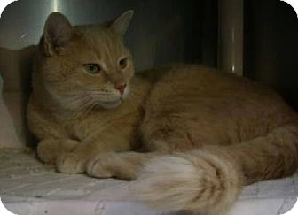 Domestic Shorthair Cat for adoption in THORNHILL, Ontario - Cairo