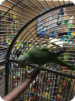 Parakeet - Quaker for adoption in Punta Gorda, Florida - Ryce