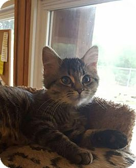 Domestic Mediumhair Kitten for adoption in Hanna City, Illinois - Sapphire-adoption pending