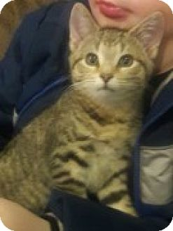 Domestic Shorthair Kitten for adoption in McHenry, Illinois - Snowflake
