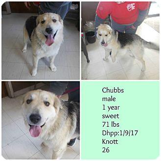 German Shepherd Dog/Great Pyrenees Mix Dog for adoption in Hazard, Kentucky - Chubbs