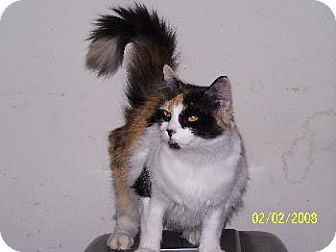 Calico Cat for adoption in Cushing, Oklahoma - LADY- ADOPTED