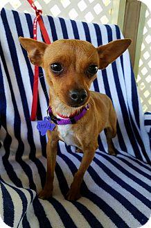 Chihuahua Mix Dog for adoption in Philadelphia, Pennsylvania - Italy