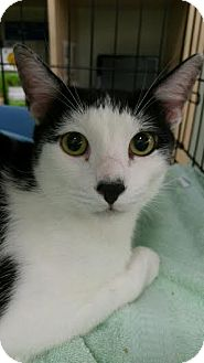 Domestic Shorthair Cat for adoption in Orlando, Florida - Zorro