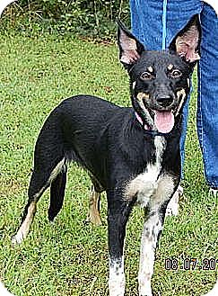 Australian Kelpie Dog for adoption in Twinsburg, Ohio - Phoenix (45 lb) Video!