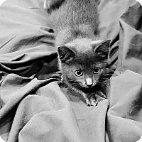 Adopt A Pet :: Sofia - Staten Island, NY
